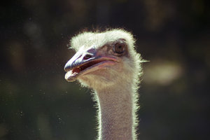 Ostrich By Dan14lev D4agwe8 By Danlev-d5eordz by danlev1