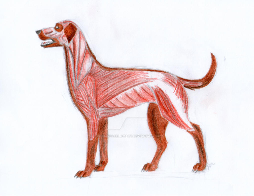 Study of dog\'s muscles anatomy! by CaptainFreedomArt on DeviantArt