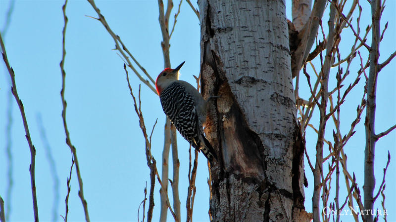 Red-Bellied Woodpecker (Male) by OnlyNature