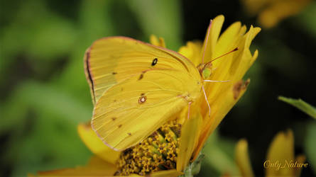 Clouded Yellow Butterfly by OnlyNature