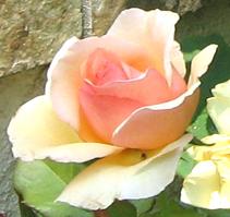Rose by DiscoPotato