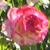 Rose avatar by DiscoPotato