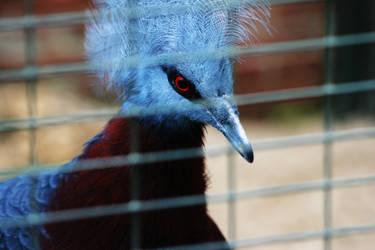 crowned-pigeon
