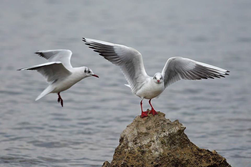 Seagulls by MelissaPhotos