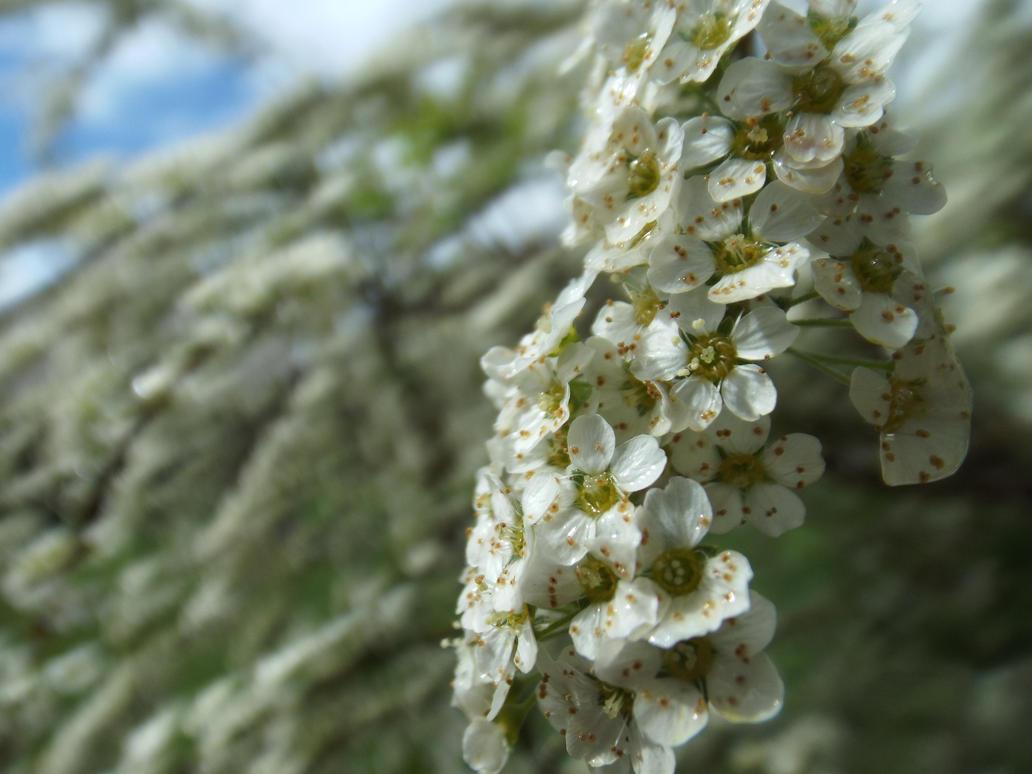 White spring by Xocolatl-Neko-chan