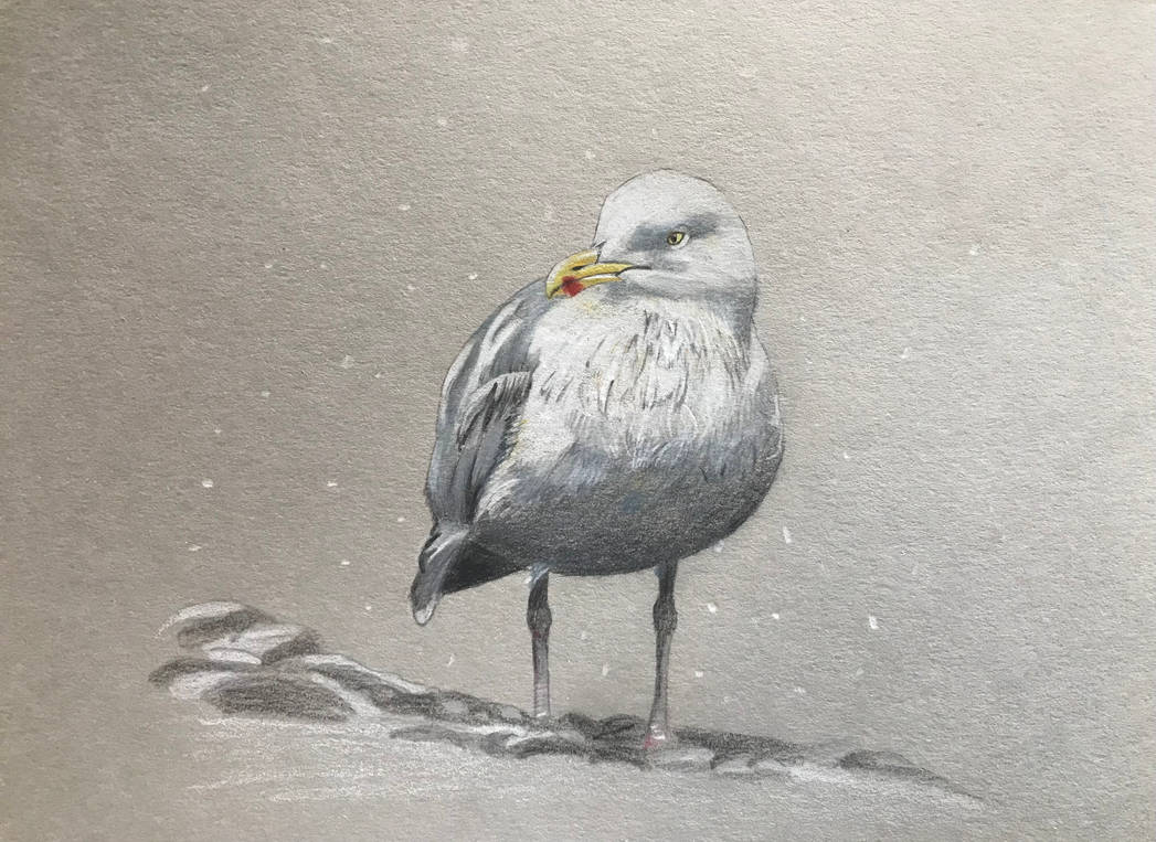 Seagull on grey toned paper