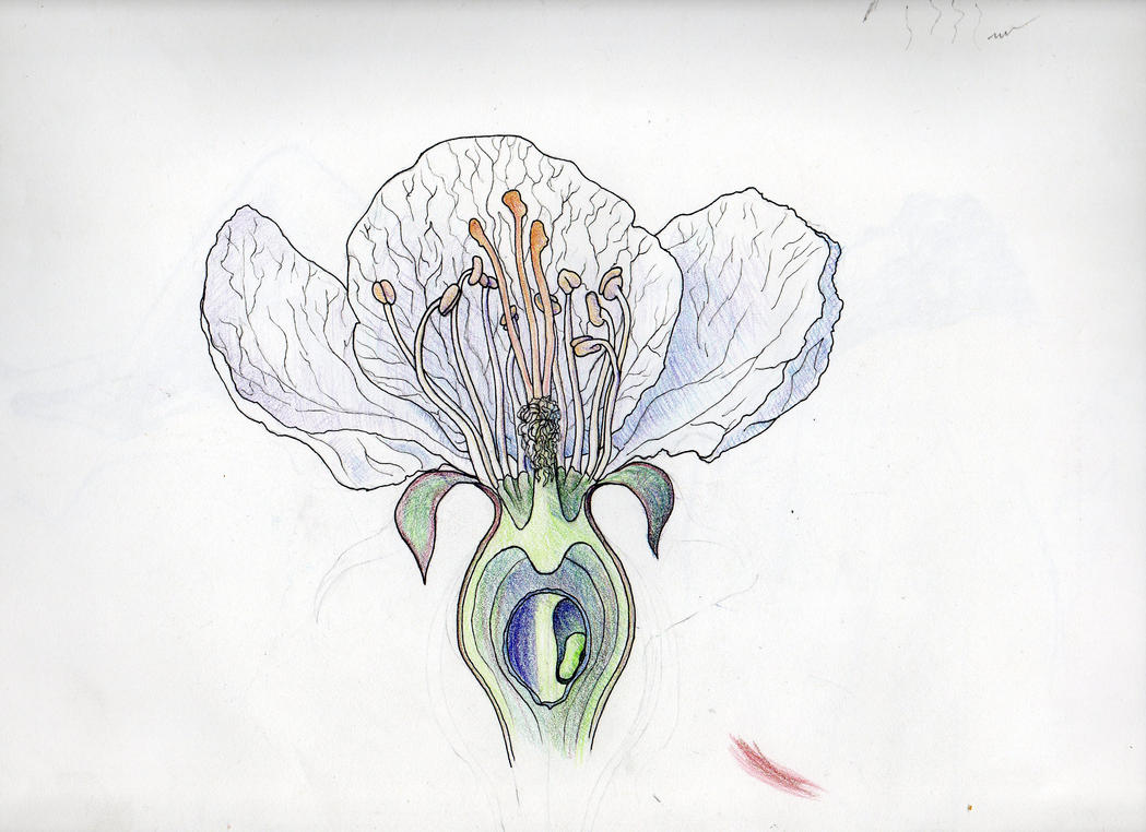 Malus Flower Anatomy Sketch - Colored Pencil/Pen by ianumeric on ...