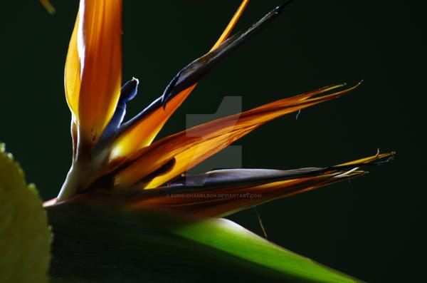 Bird of Paradise in Full Bloom by Espio-Chameleon