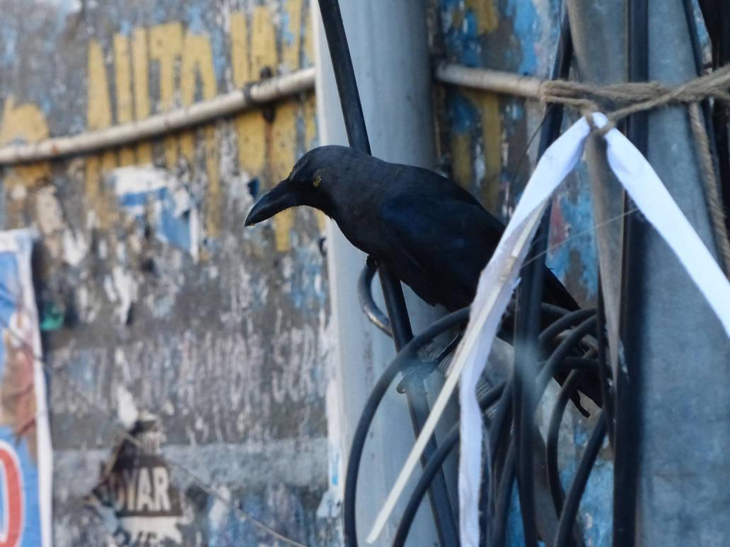 Tamil crow