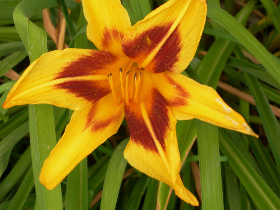 Yellow flower with red middle streaks by ICantGiveCredit