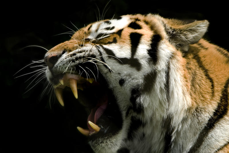 The gallery for --> Tiger Roaring Side View - photo#7