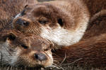 Otters Sleep
