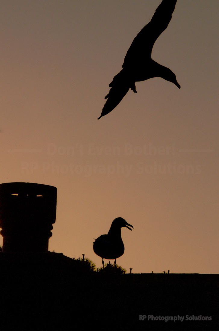 BAP - Black backed and Herring Gull Post-fight - 5 by dea1h