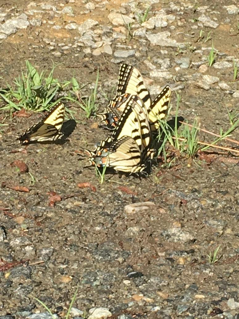 Butterflies in the mud by fieryflowerchild