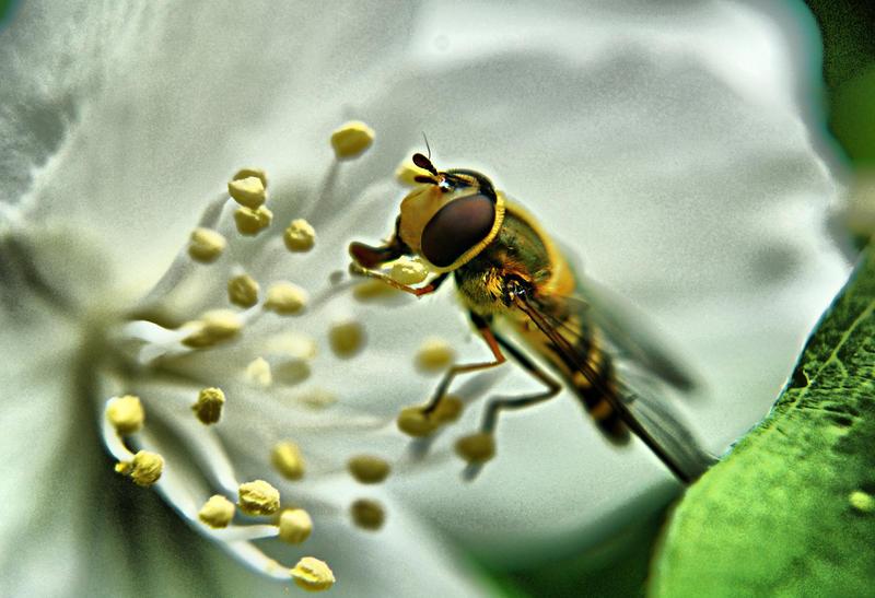 Bee on the  Jasmine by OlgaC