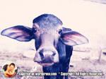 Pink effect Buffalo calf