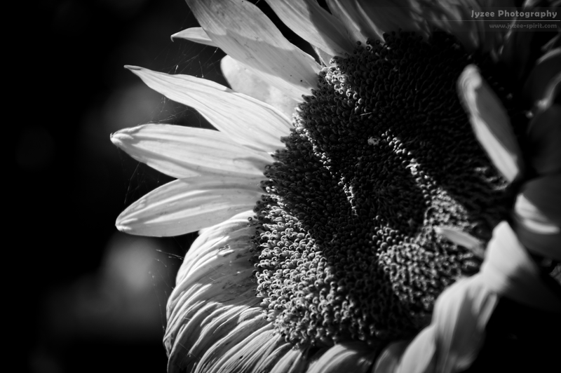 The Last Sunflower by Jyzee