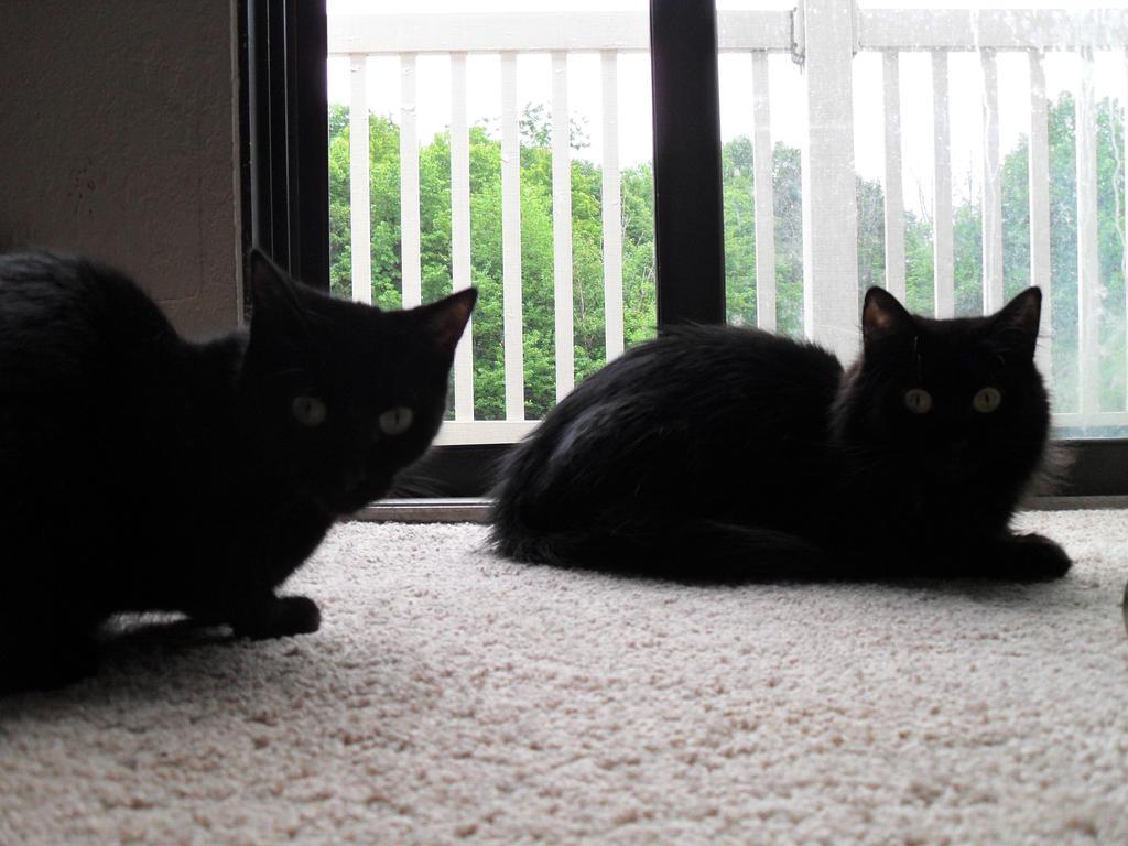 2 Black Cats by DarkLadyJade