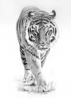 Prowling Tiger by peterrrrrrrrrrrrrrrr