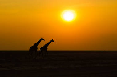 Giraffes in the sunset by greuh1