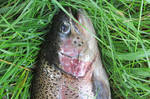 Rainbow trout by Couis