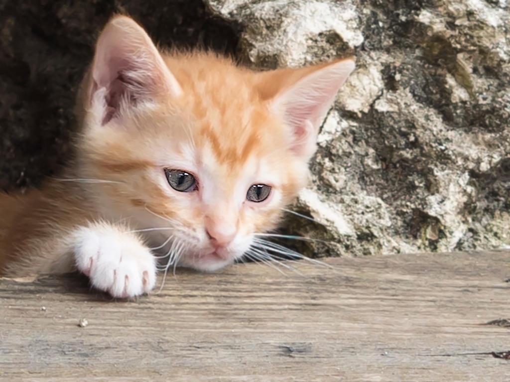 Ginger Kitten by mzkate