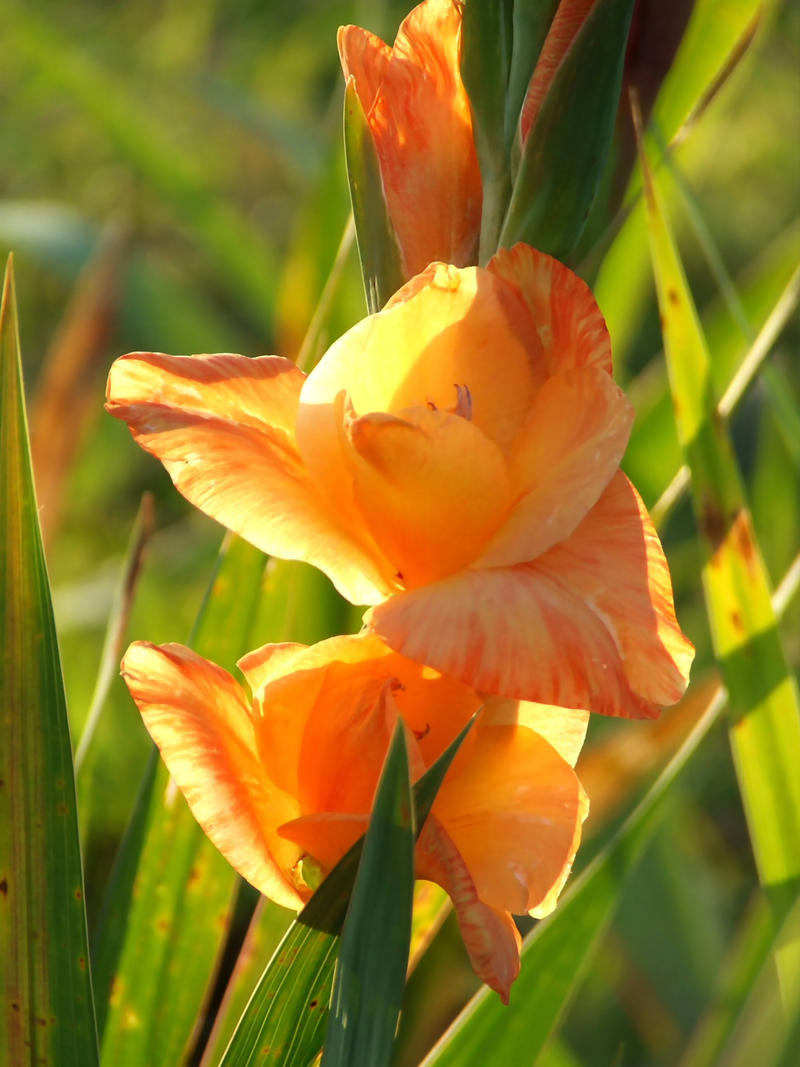 Shining orange by Tricia-Danby