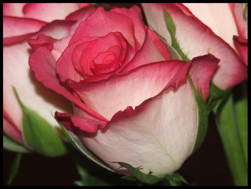 rose bud chatrooms Find and save ideas about rose bud tattoo on pinterest | see more ideas about black and white rose tattoo, bud definition and black and white flower tattoo.