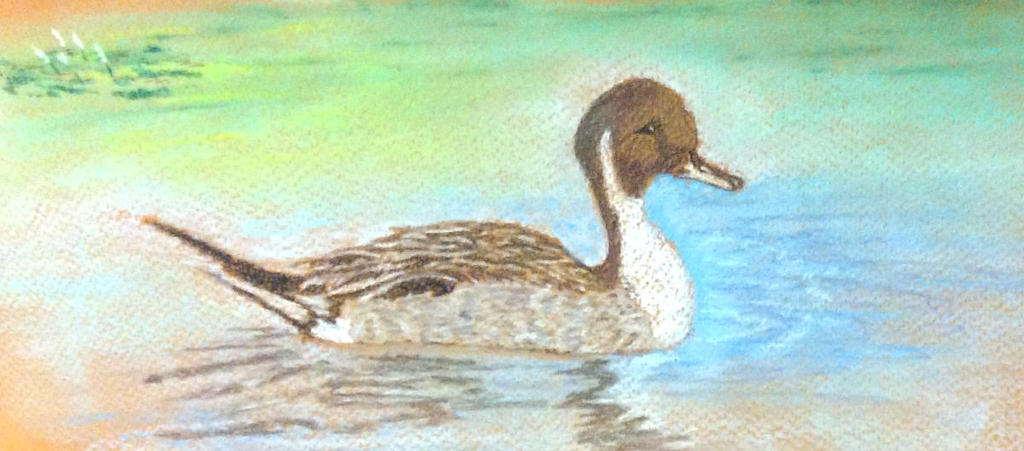 Pintail Duck, pastels by Jennyben