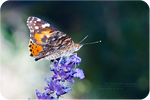 .: Painted Lady in Lavender :.