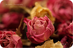 .: Roses :.