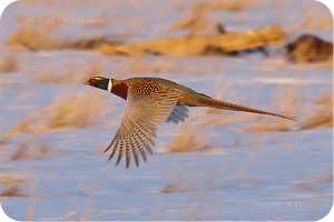 .: Male Pheasant Flight :. by jon-rista