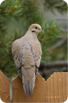 .: Mourning Dove :.