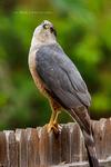 .: Cooper's Hawk - Creepy Look :.