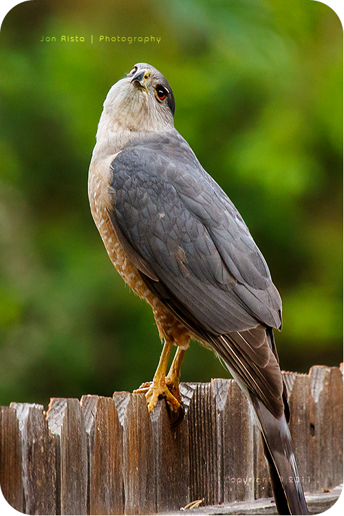.: Cooper's Hawk - Creepy Look :. by jon-rista
