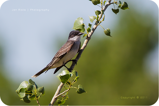 .: Kingbird on a Branch :.