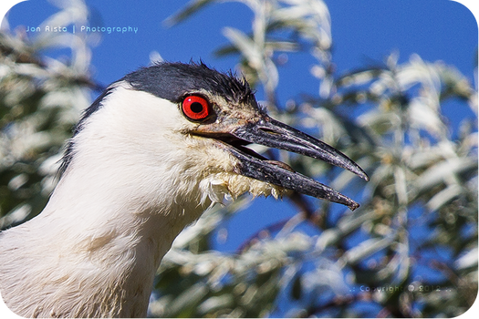 .: Night Heron Portrait :.