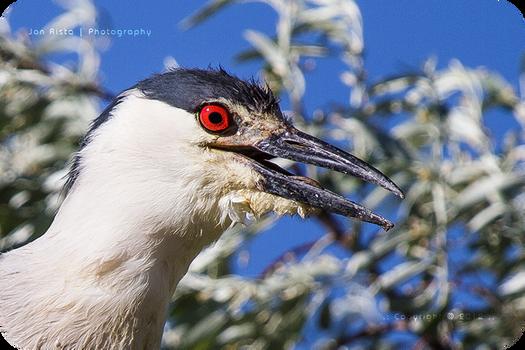 .: Night Heron Portrait :.