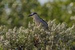 .: Night Heron Boke :.
