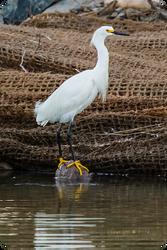 .: Snowy Egret :.