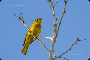 .: Yellow Warbler :.