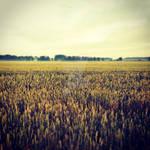 Golden Fields of Latvia