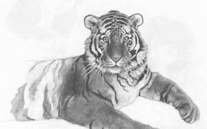 Tiger by TalisX