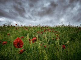 Poppies by Tadobi
