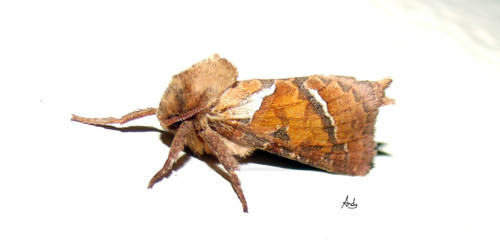 Moth drying its wings 2