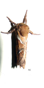 Moth drying its wings 3