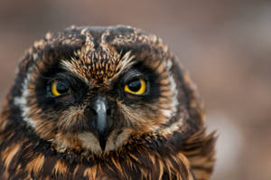 Galapagos Short-Eared Owl by J-Dill-Photography