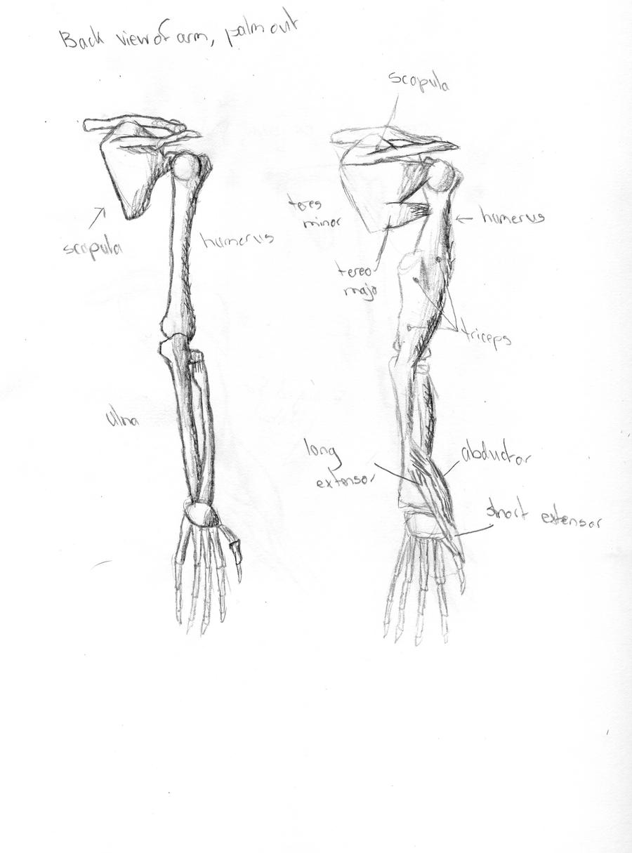 Skeleton Diagram: Arm 2 by Zantilona on DeviantArt