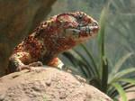 Crocodile Lizard
