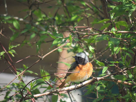 Redstart on mock-orange